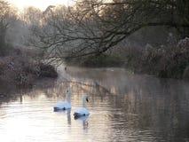 Cygnes au lever de soleil sur les ?checs de rivi?re au fond de Sarratt, Hertfordshire photos stock