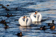 Cygnes avec des canards Image libre de droits