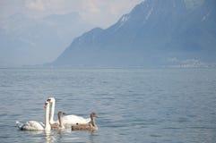 Cygnes avec des cygnes de bébé dans le Lac Léman Images libres de droits
