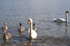 Cygnes avec des cygnes de bébé dans le Lac Léman Image libre de droits