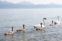 Cygnes avec des cygnes de bébé dans le Lac Léman Photo stock