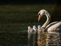 Cygnes avec trois jeunes cygnes dans une unité familiale Photo libre de droits