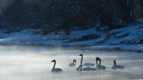 Cygnes dans le gel Images libres de droits