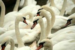 Cygnes blancs Photos libres de droits
