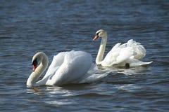 Cygnes blancs Images libres de droits