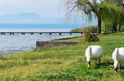 Cygnes blancs image libre de droits
