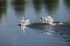 Cygnes blancs Photographie stock libre de droits