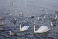 Cygnes blancs dans l'amour Photos libres de droits