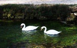 Cygnes blancs dans le lac photographie stock libre de droits