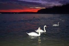 Cygnes blancs en mer d'evenig photos stock