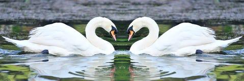 Cygnes blancs jumeaux flottant dans le lac Image stock