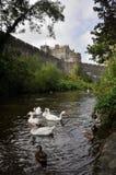 Cygnes blancs près de château de Cahir, Irlande Images stock