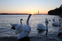 Cygnes blancs sur la rivière près du centre de la ville Photo stock