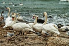 Cygnes blancs sur le bord de la mer rocheux Photo stock