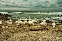 Cygnes blancs sur le bord de la mer rocheux Photographie stock