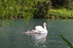 Cygnes blancs sur le lac à Sotchi Image stock