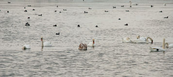 Cygnes blancs sur le lac noir dans Pomorie, Bulgarie Photographie stock