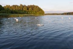 Cygnes blancs sur un lac bleu sur le coucher du soleil Images stock