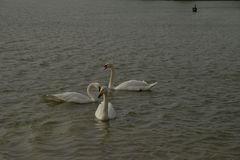 Cygnes chez Al Qudra Lakes, Dubaï photographie stock libre de droits