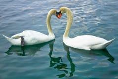 Cygnes d'amour Photos libres de droits