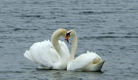 Cygnes d'amour Image libre de droits