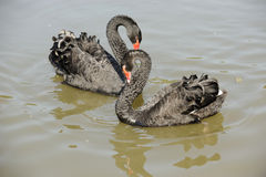 Cygnes d'amour Image stock