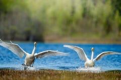 Cygnes d'atterrissage sur l'eau photos stock