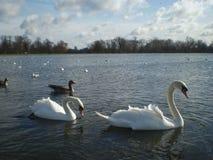 Cygnes dans des jardins de Kensington, Londres Photographie stock libre de droits
