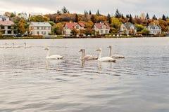 Cygnes dans l'étang à reykjavik, Islande Cygnes avec le plumage blanc sur la surface de l'eau Volée des oiseaux d'oiseaux aquatiq photos stock