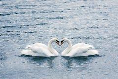 Cygnes dans l'amour Images libres de droits