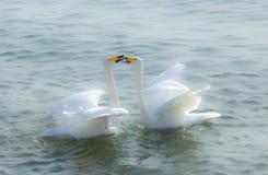 Cygnes dans l'amour Photos libres de droits