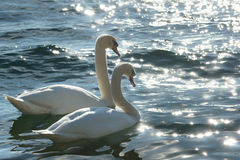 Cygnes dans l'amour Photo stock
