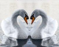 Cygnes dans l'amour faisant la forme de coeur Photo libre de droits