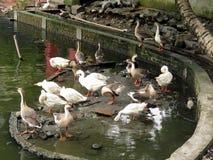 Cygnes dans l'eau photos stock