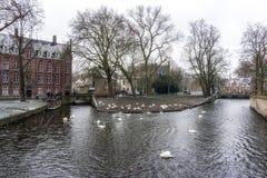 Cygnes dans l'eau de canal de Bruges images stock
