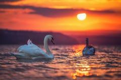 Cygnes dans la mer et le beau coucher du soleil Photo stock