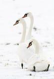 3 cygnes dans la neige Image stock