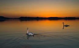 Cygnes dans le coucher du soleil Photo stock