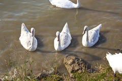 Cygnes dans le lac par le rivage Photo stock