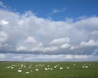 Cygnes dans le pré sous le cloudscape près d'Amersfoort et eemnes en Hollande Photographie stock libre de droits