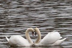 Cygnes dans un lac formant un coeur (plan rapproché) Image libre de droits