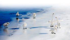Cygnes de combat sur un lac congelé image stock