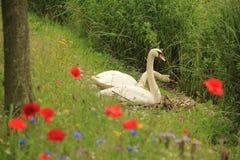 Cygnes de couples avec des pavots au printemps Image libre de droits