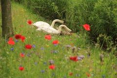 Cygnes de couples avec des pavots au printemps Image stock