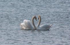 Cygnes de couples dans la danse d'amour Photographie stock libre de droits
