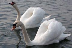 Cygnes de couples dans la danse d'amour Dans le lac Orestiada de Kastoria, la Grèce Images stock