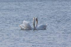 Cygnes de couples dans la danse d'amour Dans le lac Orestiada de Kastoria, la Grèce Photographie stock libre de droits