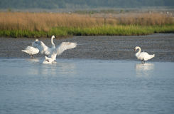 Cygnes de lagune Photographie stock libre de droits