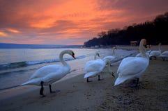 Cygnes de plage de coucher du soleil Image stock