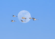 Cygnes de toundra et pleine lune Photographie stock libre de droits